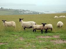 Sheep graze on a farm in Devon