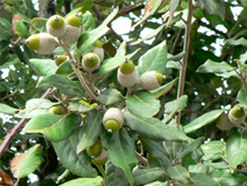Holm oak leaves and acorns