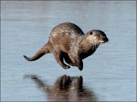 Otter on ice