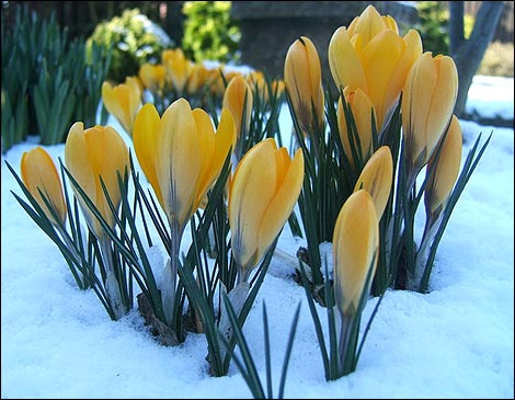 https://i2.wp.com/www.bbc.co.uk/southyorkshire/content/images/2006/03/15/crocus_470x365.jpg