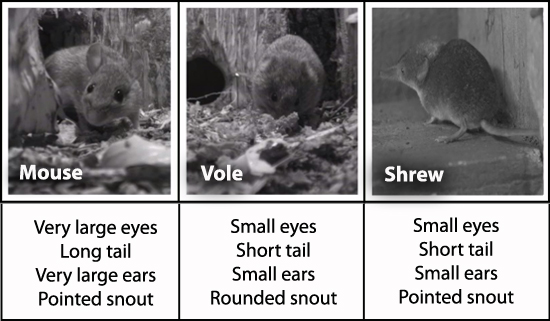 Bbc Nature Uk Mice Shrews And Voles A Quick Guide