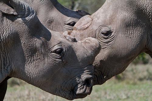 Northern white rhinos in Kenya