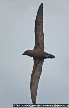 Petrel de Fiji/ Foto: H. Shirihai/ The Tubenosos Project