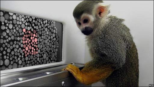 Mono haciendo experimento contra el daltonismo