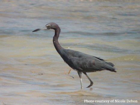 Small Hope Bay Lodge - Blue Heron