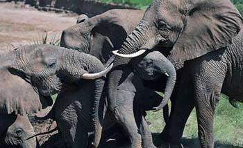 The amazing intelligence of elephants