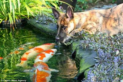 Dutch Shepherd forms a special friendship with owner's pond fish