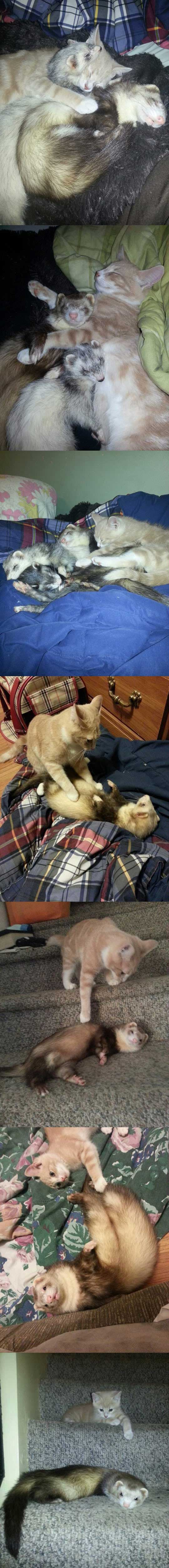 I had a Crazy Ferrat home. Then I brought a New cat home. Watch How My Ferrat Reacted