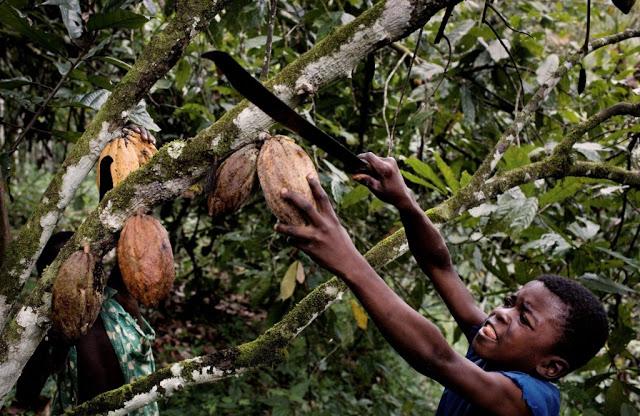 Elfenbeinkueste, Sinikosson, Kakaoplantage, Kakao, Plantage, Anbau, Landwirtschaft, Junge, Portrait, Kind, Kinderportrait, Kinderarbeit, Einheimischer, Bevoelkerung, Westafrika, Afrika, 02.10.2008. QFEnglish: Ivory Coast, Sinikosson, cocoa plantation, agriculture, cultivation, boy, portrait, child labour, chocolate, West Africa, October 2, 2008.11 year old Ibra, using a machete tied to a stick to harvest cocoa pods from a tree on father's cocoa plantation on outskirts of village of Sinikosson.He does not attend school, work begins at 8 am.  He has no idea what happens to the cocoa beans.  Kakao an der Elfenbeinkueste.Der 11-jaehrige Ibra erntet mit seiner Machete reife Kakaofruechte auf der Kakaoplantage seines Vaters am Rande des Dorfs Sinikosson.Er besucht keine Schule, die Arbeit beginnt in der Regel um 8 Uhr morgens und umfa??t das abschneiden der Fruechte, einsammeln, mit der Machete aufschlagen, Bohnen entnehmen...Die Familie lebt von der Hand in den Mund und kann keinerlei Ruecklagen bilden.Der Verkauf der Kakaobohnen bildet fuer sie die einzige veritable Einnahmequelle.Ibra weiss nicht was anschliessend mit den Bohnen geschieht.Kakao ist der Grundstoff zur Herstellung von Schokolade.Das Land ist weltgroesster Kakaoproduzent und -exporteur, mit einer Ernte von ca. 1 Million Tonnen in 2008. Damit hat es einen Anteil von ca. 34 % der weltweiten Gesamtproduktion.Hauptsaechlich bedingt durch Koruption in Regierung und Kakaobehoerden und dem Eigeninteresse multinationaler Konzerne (Cargill, ADM, Callebaut, Nestl?Ê) ist das Einkommen der Erzeuger  (Kleinbauern) kaum existenzsichernd.Als direkte Folge und mangels Alternativen sind Kinderarbeit und Ausbeutung, bis hin zu Kinderhandel, weit verbreitet. Schulen, Krankenhaeuser, fliessendes Wasser, Strom, Telekommunikation und ausgebaute Strassen existieren in gro??en Teilen der Anbaugebiete nicht.Als Kakao bezeichnet man die Samen des Kakaobaumes (Kakaobohnen). Die reifen, je nach Sorte gr??ngelb bi