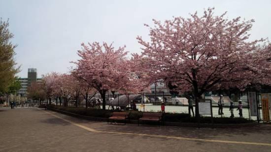 いこいの森公園の桜