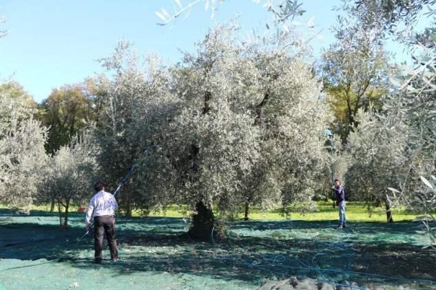 Raccolta delle olive fatta a mano da Antonio Leali