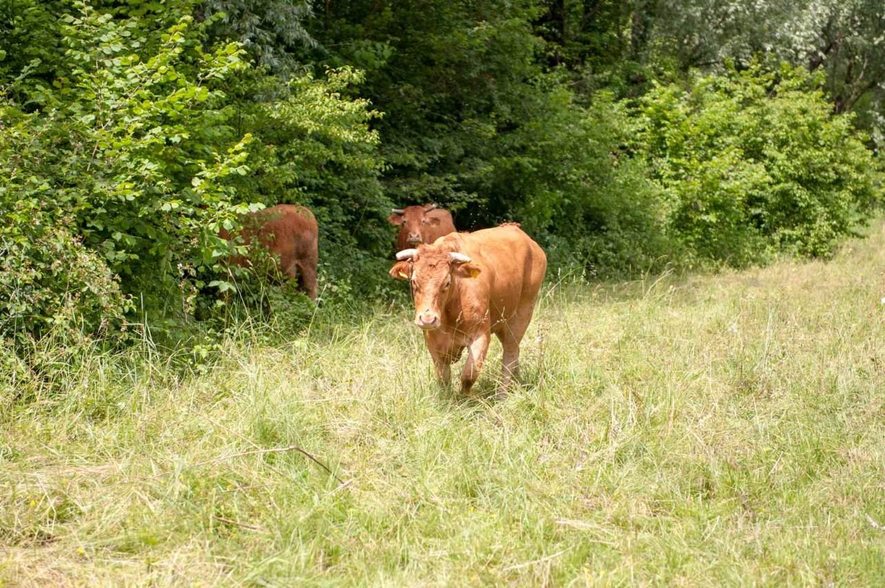 Mucca di razza Limousine allevata a Preseglie allo stato brado