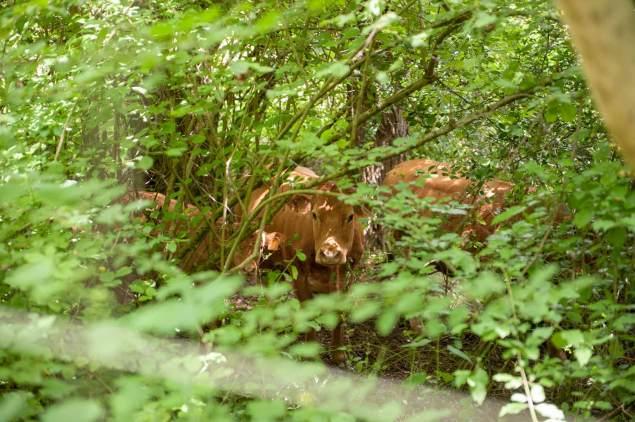 Mucche di razza Limousine nel verde bosco della Vallesabbia