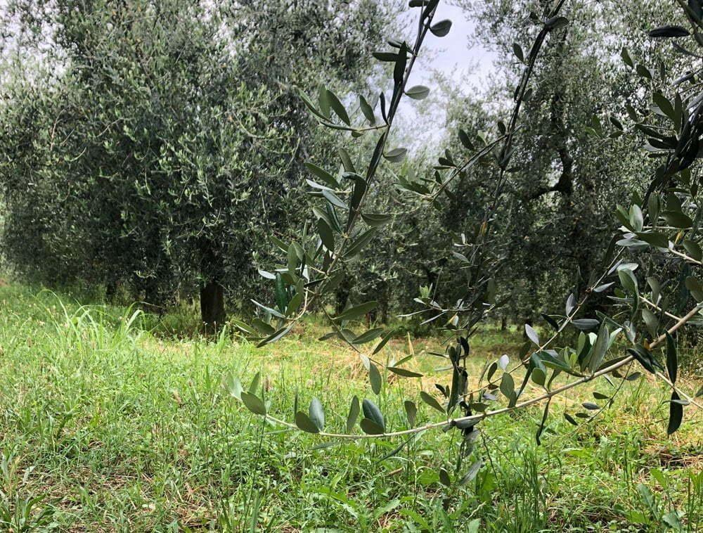 Uliveti sul lago di Garda senza olive per l'annata 2019