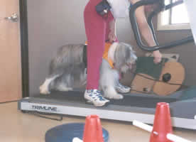 Introducing Blueberry to the treadmill