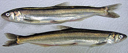 Ooligan, also known as eulachon and candle fish is a type of smelt.