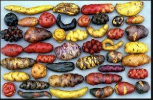 Many potatoes