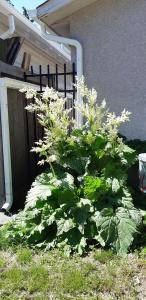 Rhubarb growing in a back alley
