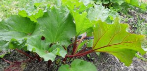 One-year old Red rhubarb