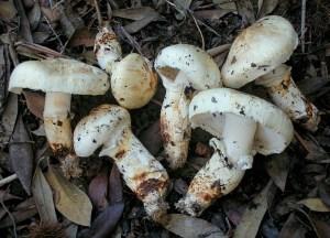 Photo of pine mushrooms