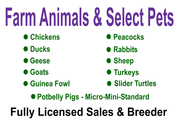 Blackberry Creek Mini Farm - Fully Licensed Sales & Breeder