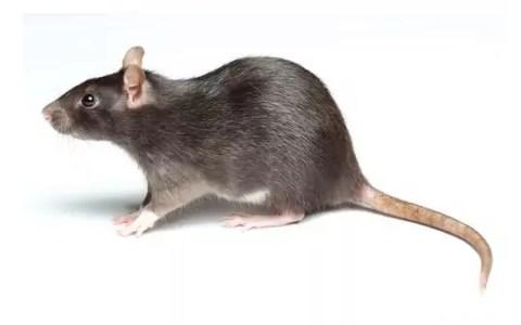 Rata negra (Rattus rattus)