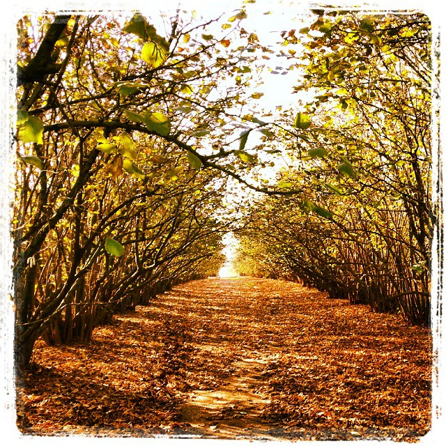 Campo de avellanos en otoño (Foto: Luis Fernández)