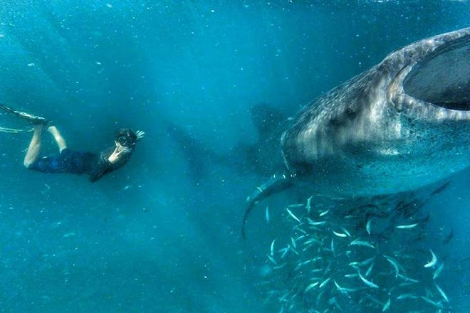 Tiburon Ballena La Paz