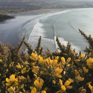 Gorse on the Coast Path