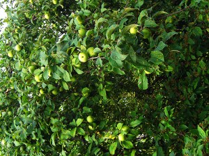 Apples at Beacon Springs
