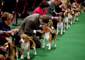 Keith Paladino of Lodi, N.J., second from left, works with a 15 inch Beagle as they line up in the ring for competition at the 136th annual Westminster Kennel Club dog show, Monday, Feb. 13, 2012, in New York.