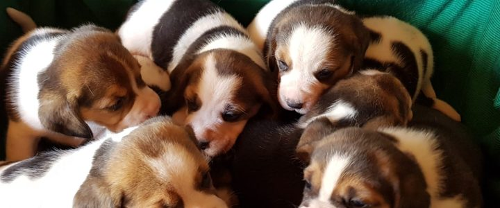 cuccioli beagle femmine disponibili