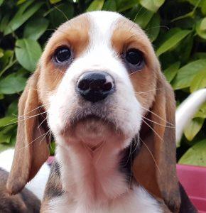 allevamento Beagle di nonna Filomena
