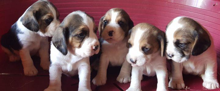 disponibilità cuccioli