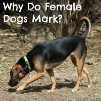 Why Do Female Dogs Mark?