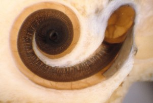 Cochlea of the Human Ear