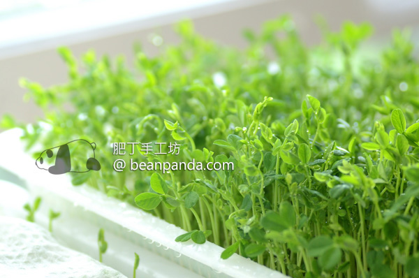 豌豆苗在家種【無土水培】開心農場 清炒爽脆芽菜料理 Pea Sprouts and Shoots: A Step By Step Growing Guide