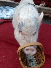 Pee-Wee of the Pig Placement Network