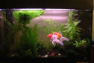 Fish in a tank