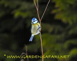 This image is copyrighted gardensafari.net