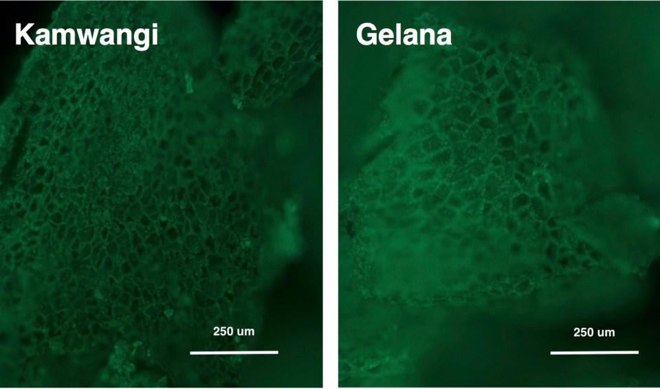 Fluorescence microscopy 10x, Ethiopian, Kenyan, Kamwangi, Gelana