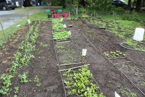 Bob has work to do in the kitchen garden, a Fog's Own Produce patch