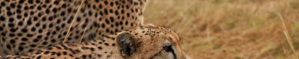 Masai Mara, Kenya, Safari, Africa, Lion, Cheetah, Great Migration, Leopard