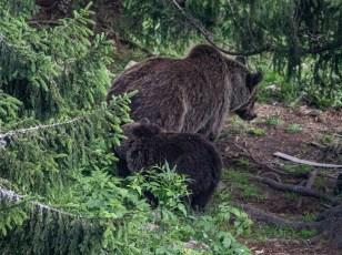 200723-154253-orsa-bear-1D8A7853