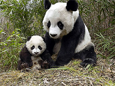 Panda Bear Mother & Cub