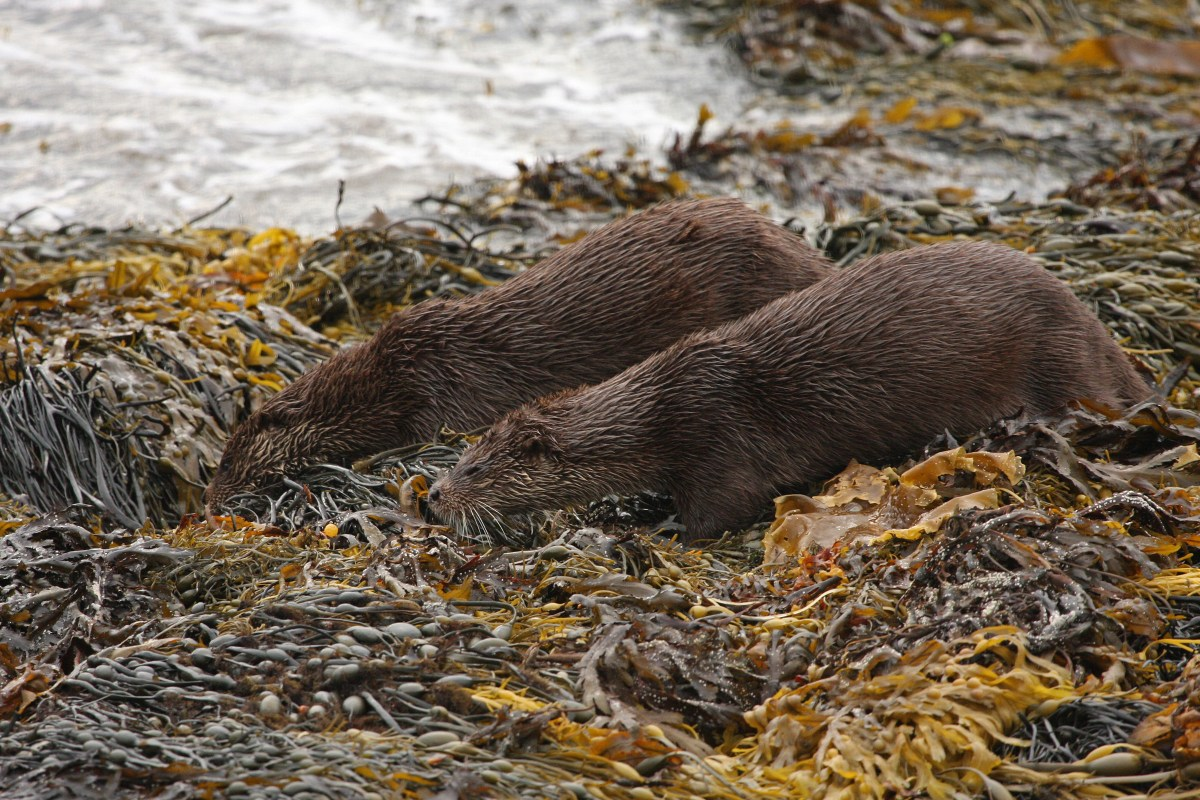 Two otters in seaweed