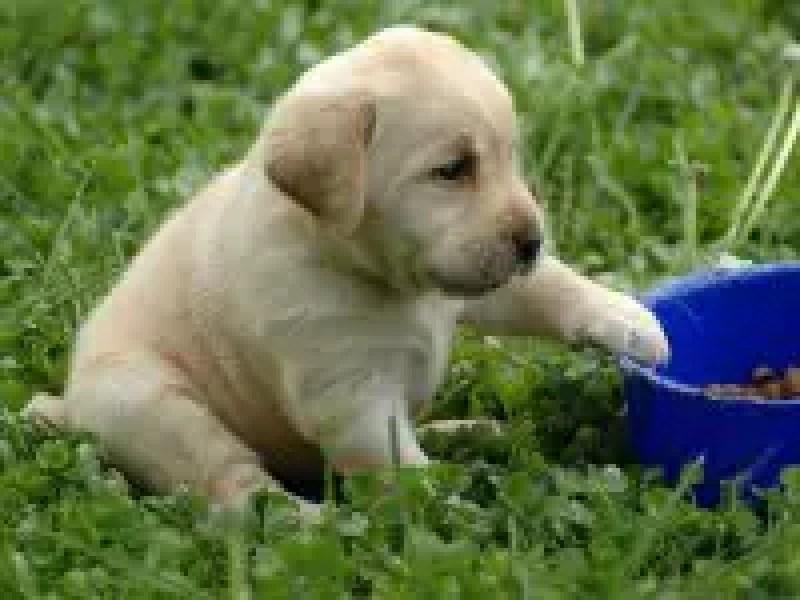 labrador-retrieve-lovely-baby_93029-1600x1200.jpg