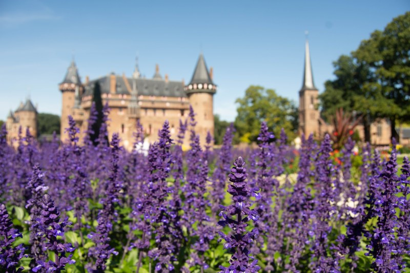 Purple Lavender in the garden next to the castle