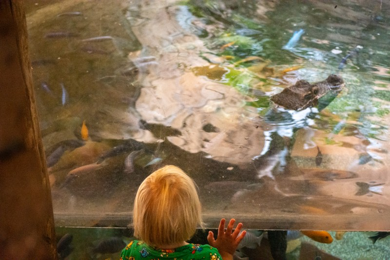 Looking at the crocodile at DierenPark Amersfoort by Beatrice Murch