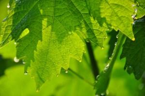 © Beatrice Otto – Lugano vine leaf & sun